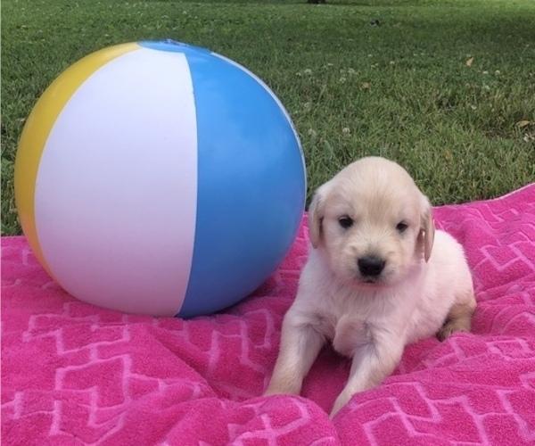 Medium Photo #2 Golden Retriever Puppy For Sale in AUSTIN, KY, USA