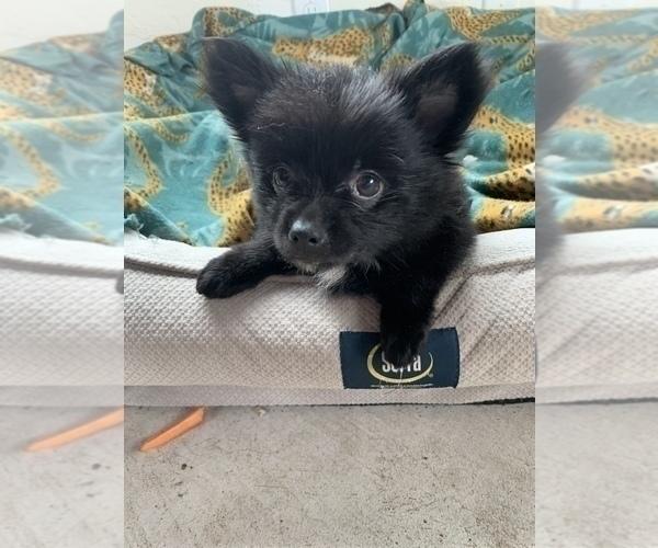 Medium Photo #8 Pomeranian Puppy For Sale in KEAAU, HI, USA