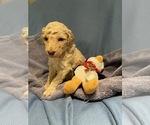 Puppy 10 Poodle (Standard)