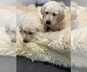Labrador Retriever Puppy for Sale in AUBURN, Washington USA