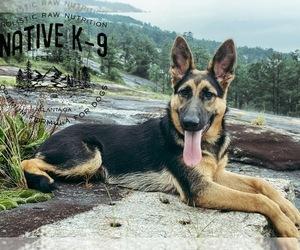 German Shepherd Dog Puppy for sale in ATLANTA, GA, USA