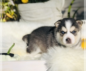 Alaskan Klee Kai Puppy for sale in Oxford Station, Ontario, Canada