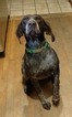 German Shorthaired Pointer Puppy For Sale in EDMONDS, WA