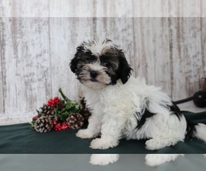 Havanese Puppy for sale in SHILOH, OH, USA