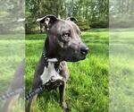 Small #33 Staffordshire Bull Terrier