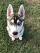 Siberian Husky Puppy For Sale in ANOKA, MN, USA