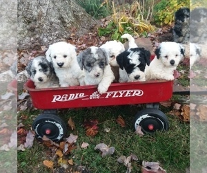 Poodle (Miniature) Puppy for Sale in MILLERSBURG, Pennsylvania USA