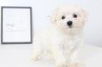 Max Male Maltese Puppy