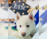 Puppy 8 Siberian Husky