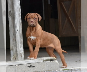 Dogue de Bordeaux Puppy for sale in ADAMS MILLS, OH, USA
