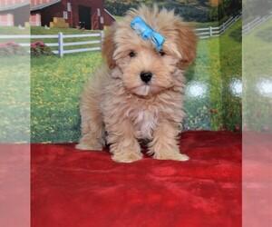 Maltipoo Dog for Adoption in BARNESVILLE, Kansas USA