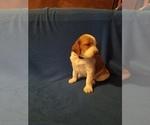 Puppy 7 Brittany