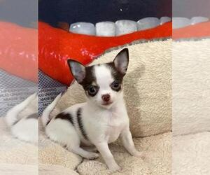 Chihuahua Puppy for sale in JACKSONVILLE, FL, USA