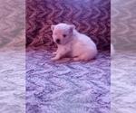 Small #18 Pomeranian