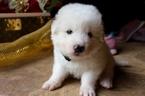 Puppy 2 Maremma Sheepdog