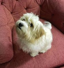 Cavachon Puppy For Sale in SAN DIEGO, CA