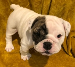 English Bulldog Puppy For Sale in KYLE, TX, USA
