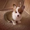 Pembroke Welsh Corgi Puppy For Sale in PASO ROBLES, CA, USA