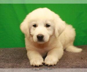 Great Pyrenees Puppy for Sale in SHAWNEE, Oklahoma USA