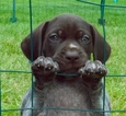 German Shorthaired Pointer Puppy For Sale in FARMINGTON, Michigan,