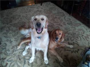 Father of the Golden Retriever puppies born on 05/24/2016