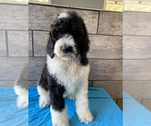 Poodle (Standard) Puppy for sale in RICHMOND, IL, USA