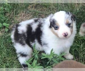 Australian Shepherd Puppy for sale in BERTRAM, TX, USA