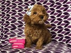 Small #7 Goldendoodle (Miniature)