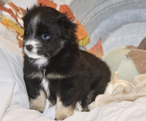Miniature Australian Shepherd Puppy for Sale in HILLSBORO, Kansas USA