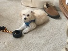 Goldendoodle Puppy For Sale in LOGAN, OH