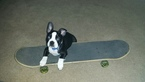 Boston Terrier Puppy For Sale in PRINCETON, WV, USA