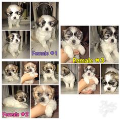 Shih Tzu Puppy for sale in MANY, LA, USA