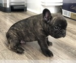 Small Photo #1 French Bulldog Puppy For Sale in HOLTSVILLE, NY, USA
