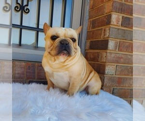 Father of the French Bulldog puppies born on 01/16/2020