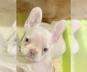 French Bulldog Puppy for sale in FREMONT, CA, USA