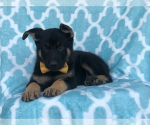 German Shepherd Dog Puppy for Sale in CEDAR LANE, Pennsylvania USA
