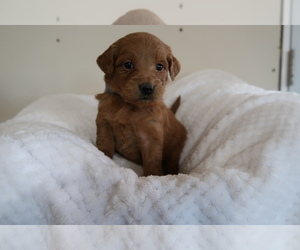 Goldendoodle Dog for Adoption in KALAMAZOO, Michigan USA