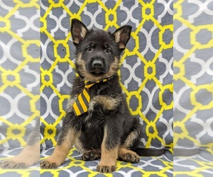 German Shepherd Dog Puppy for sale in NEW PROVIDENCE, PA, USA