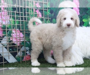 Bernedoodle Dog for Adoption in MARIETTA, Georgia USA