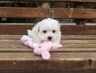 Maltese Puppy For Sale in LOS ANGELES, CA,