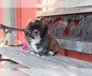 Shih Tzu Puppy for Sale in HAYWARD, California USA