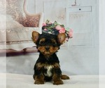 Puppy 11 Yorkshire Terrier