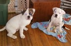 Olde English Bulldogge Puppy For Sale in ROCHESTER, NY