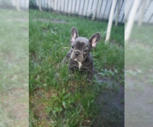 French Bulldog Puppy for sale in BLOOMINGTON, MN, USA