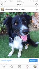 Border Collie Puppy For Sale in CANOGA PARK, CA