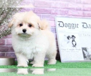 Pom-A-Poo Puppy for sale in BEL AIR, MD, USA