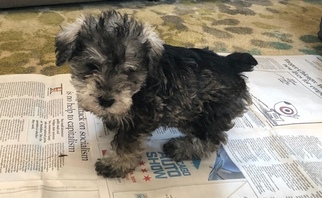 Schnoodle (Miniature) Puppy For Sale in MUNDELEIN, IL, USA