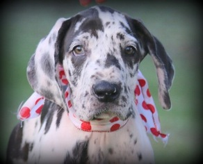 Great Dane Puppy for sale in BRENT, AL, USA