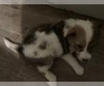 Puppy 0 Shel-Aussie-Shetland Sheepdog Mix