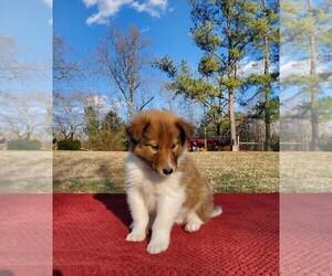 Collie Puppy for sale in CENTERTOWN, TN, USA